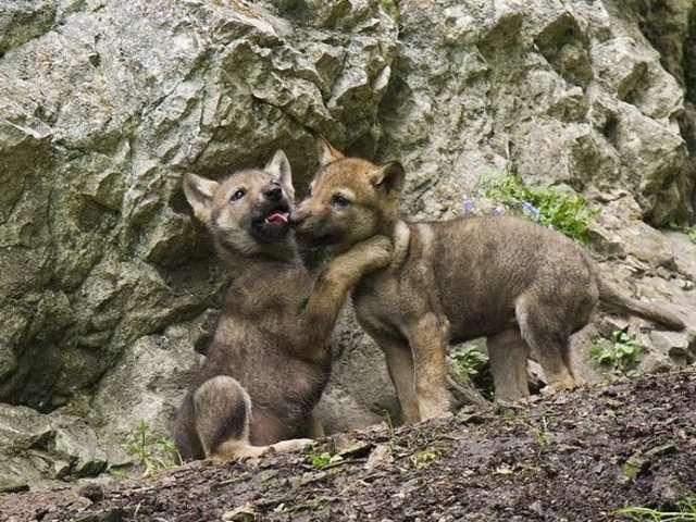 Hình ảnh sói con dễ thương
