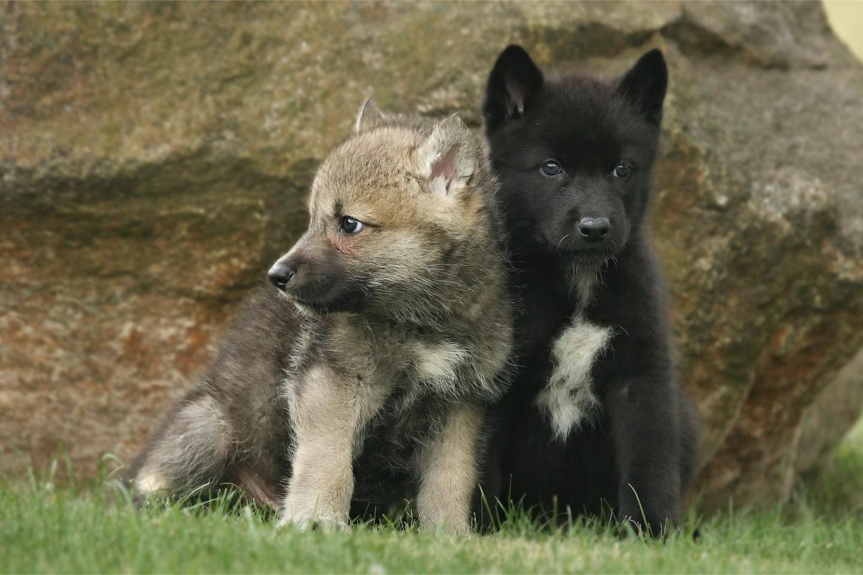 Hình ảnh sói con đẹp