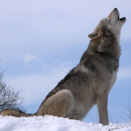 Hình ảnh sói đang hú