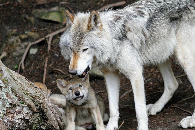 Hình ảnh sói dễ thương