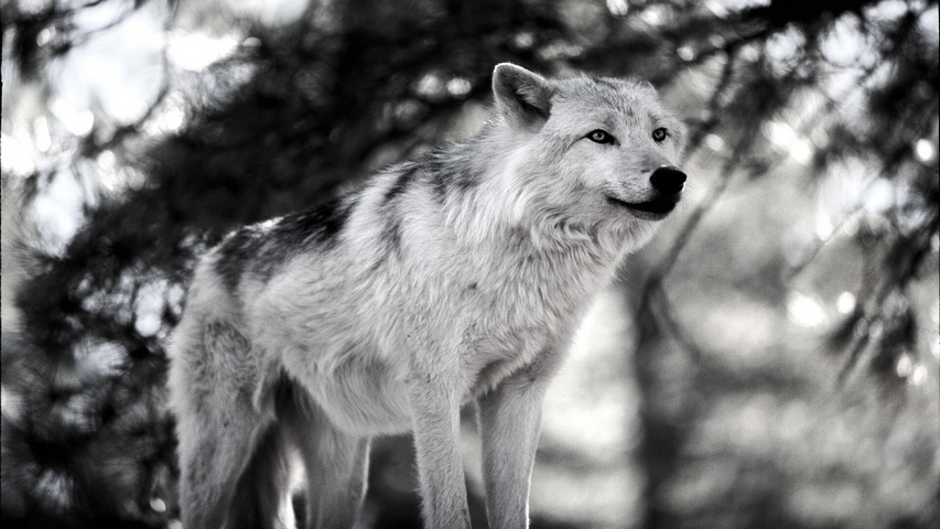 Hình ảnh sói đen trắng