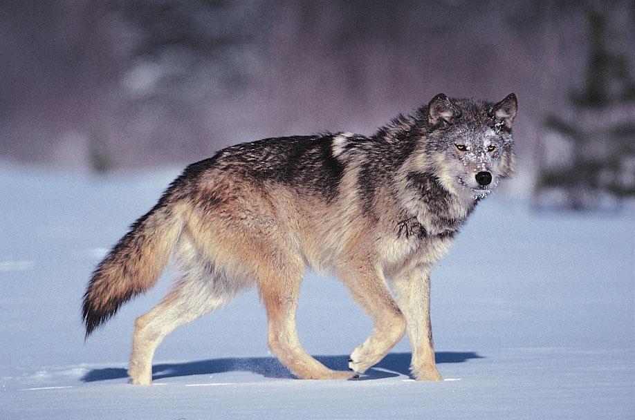 Hình ảnh sói đi săn