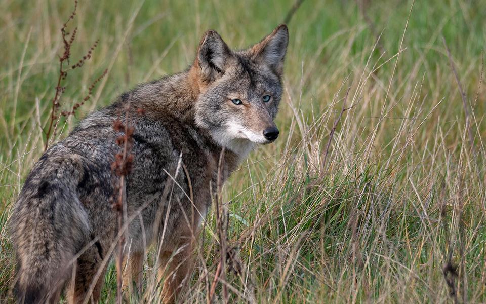 Hình ảnh sói đồng cỏ đẹp