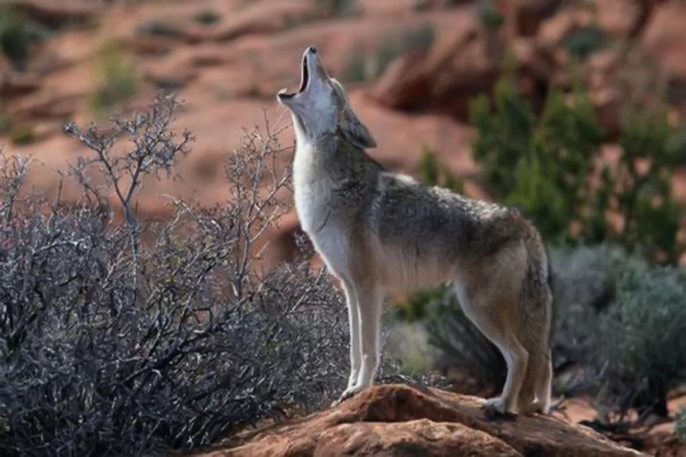 Hình ảnh sói đồng cỏ