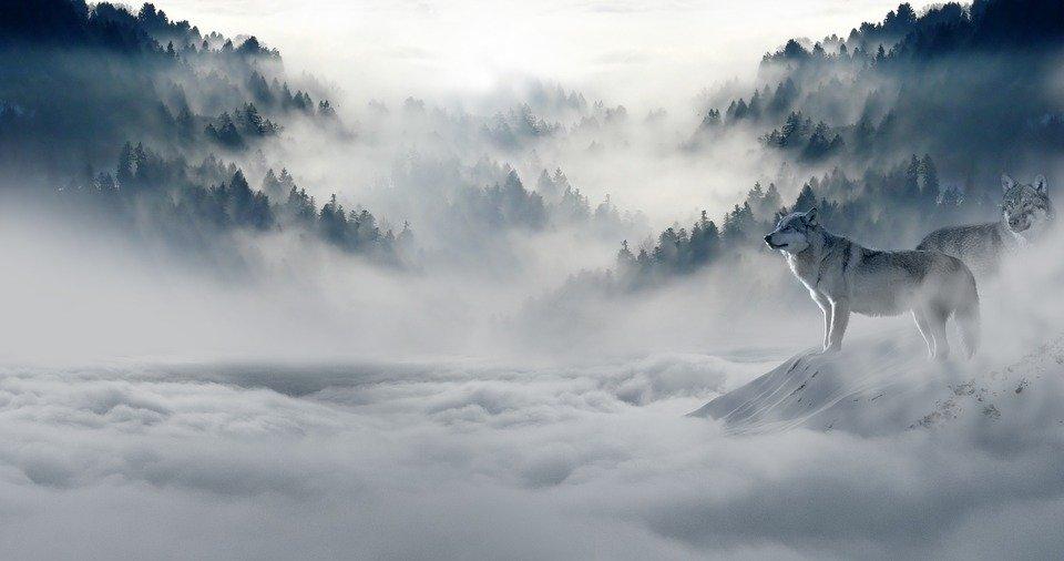 Hình ảnh sói hoang