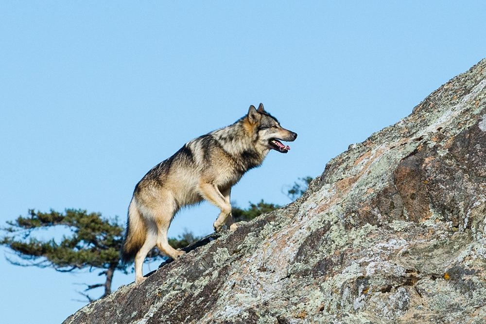 Hình ảnh sói leo núi