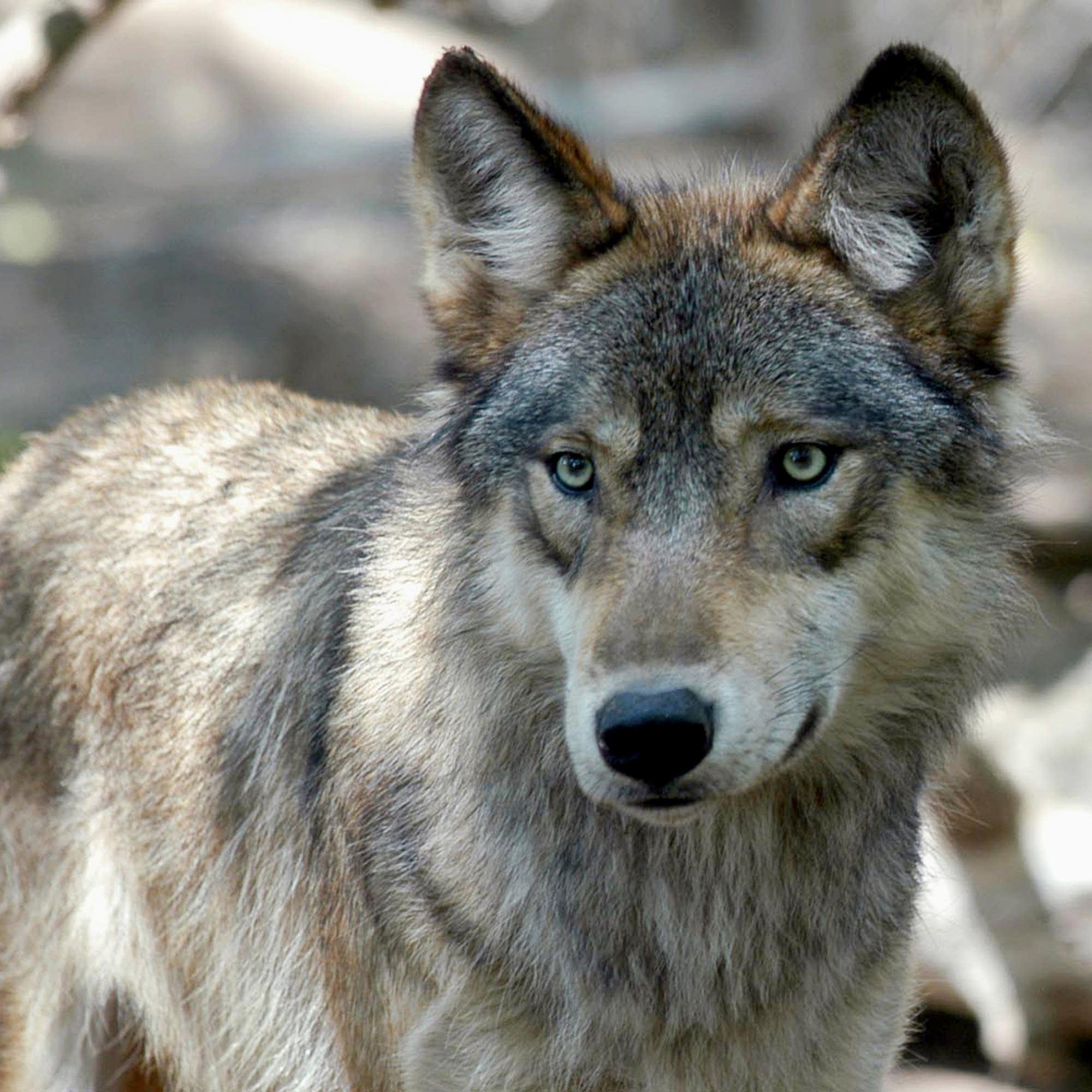 Hình ảnh sói rừng đẹp