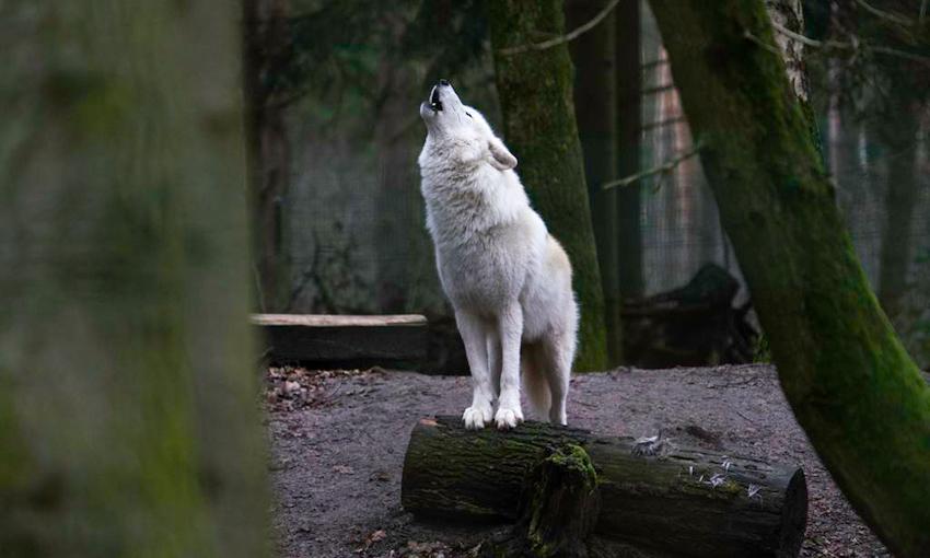 Hình ảnh sói rừng