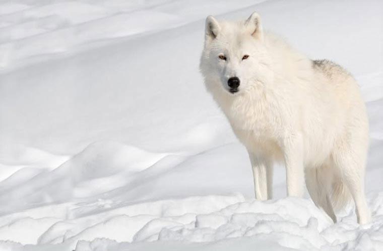 Hình ảnh sói trắng
