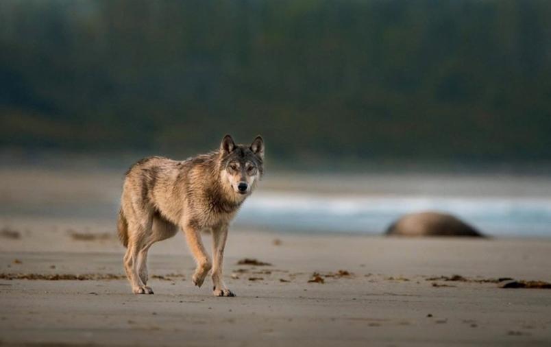 Hình ảnh sói trên bờ biển