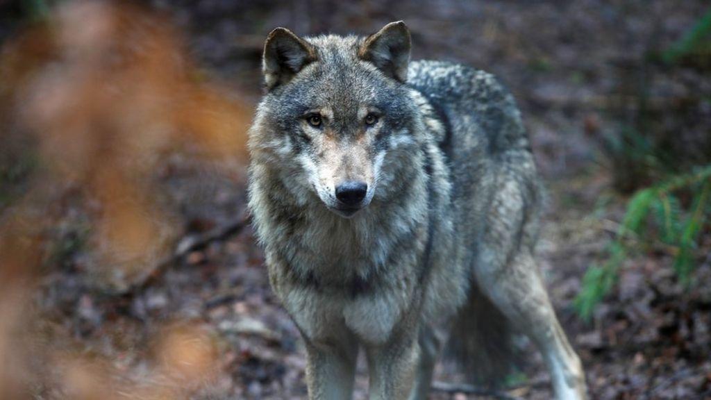 Hình ảnh sói trong rừng