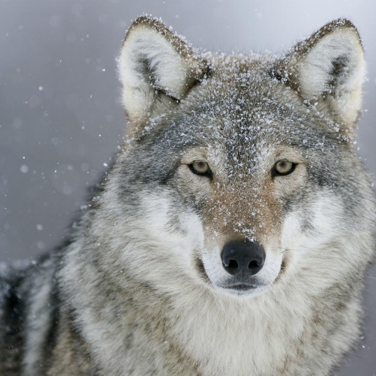 Hình ảnh sói tuyết