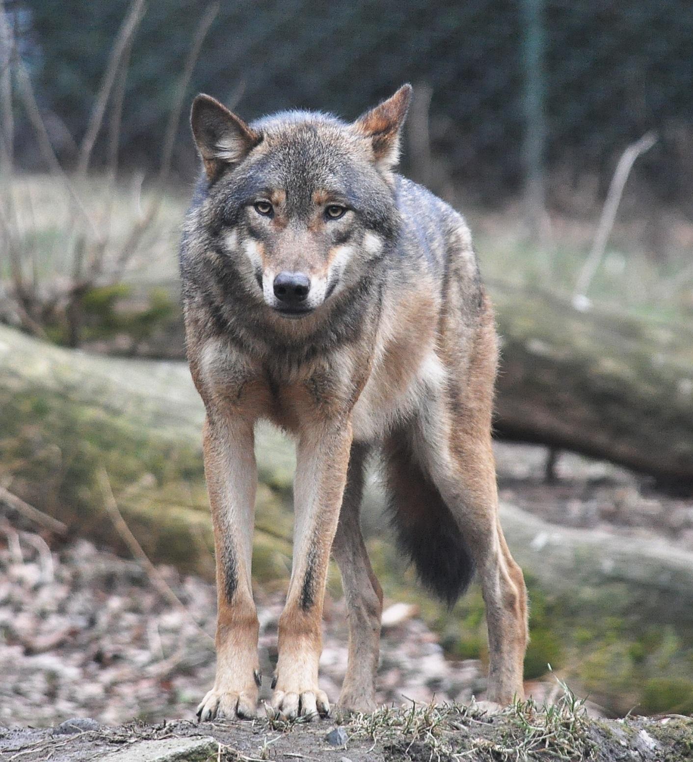 Hình ảnh sói xám