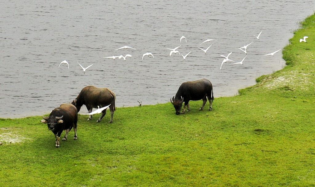 Hình ảnh con trâu kiếm ăn trên cánh đồng