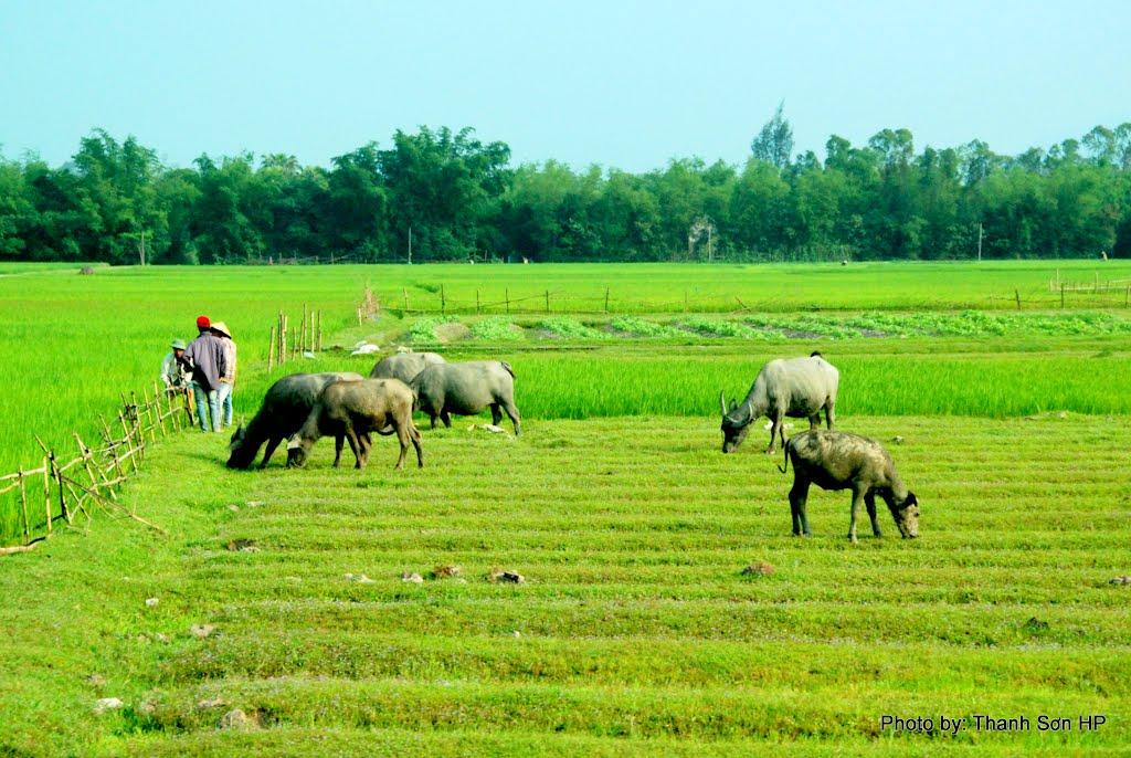 Hình ảnh con trâu ở làng quê Việt Nam
