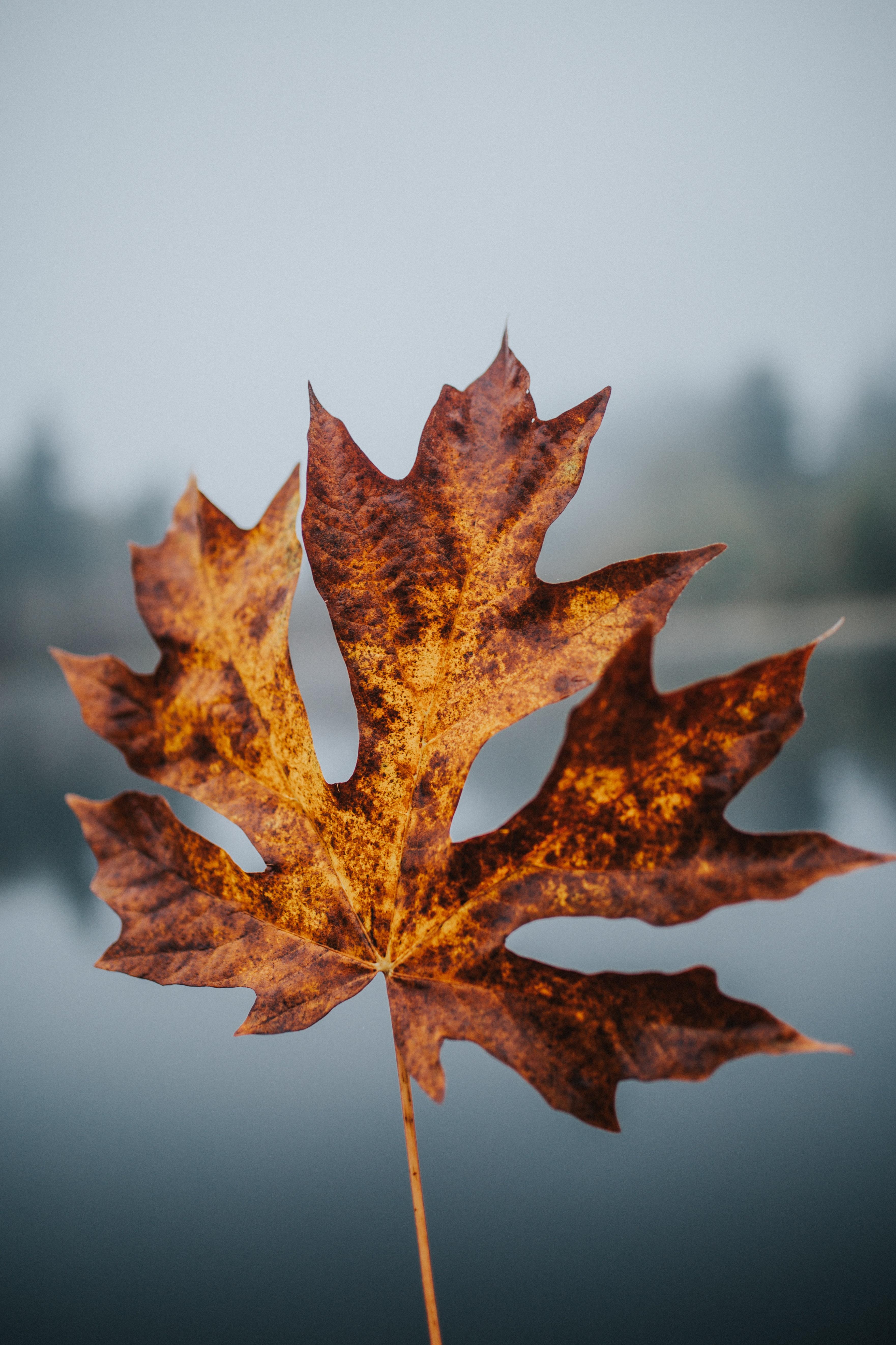 Ảnh lá phong vàng Canada cực đẹp
