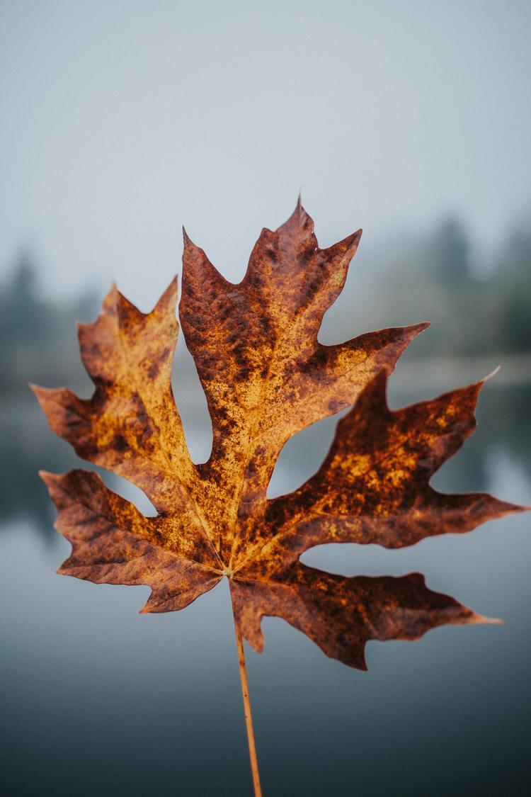 Ảnh lá phong vàng Canada