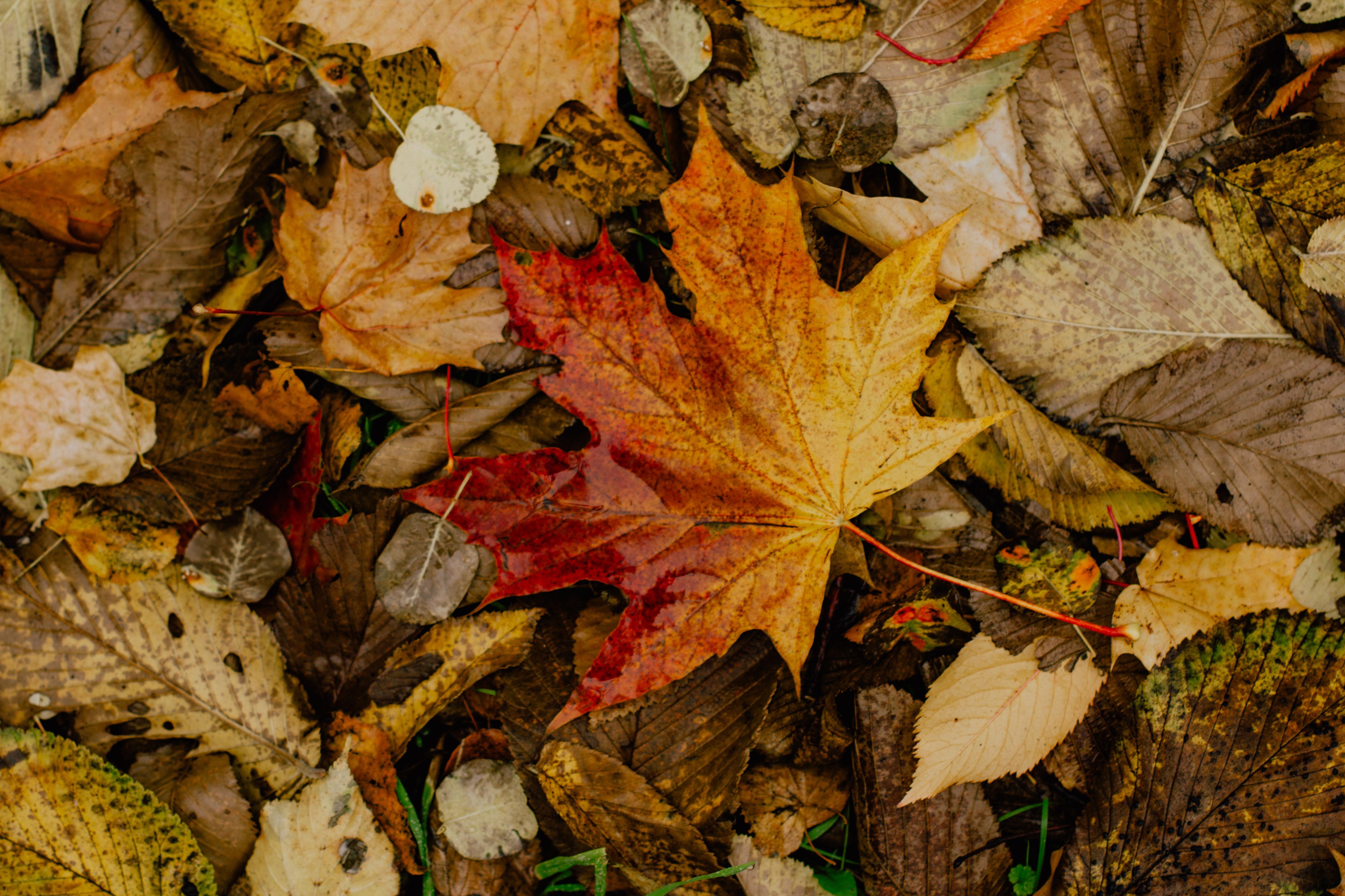 Hình ảnh lá phong Canada cực đẹp