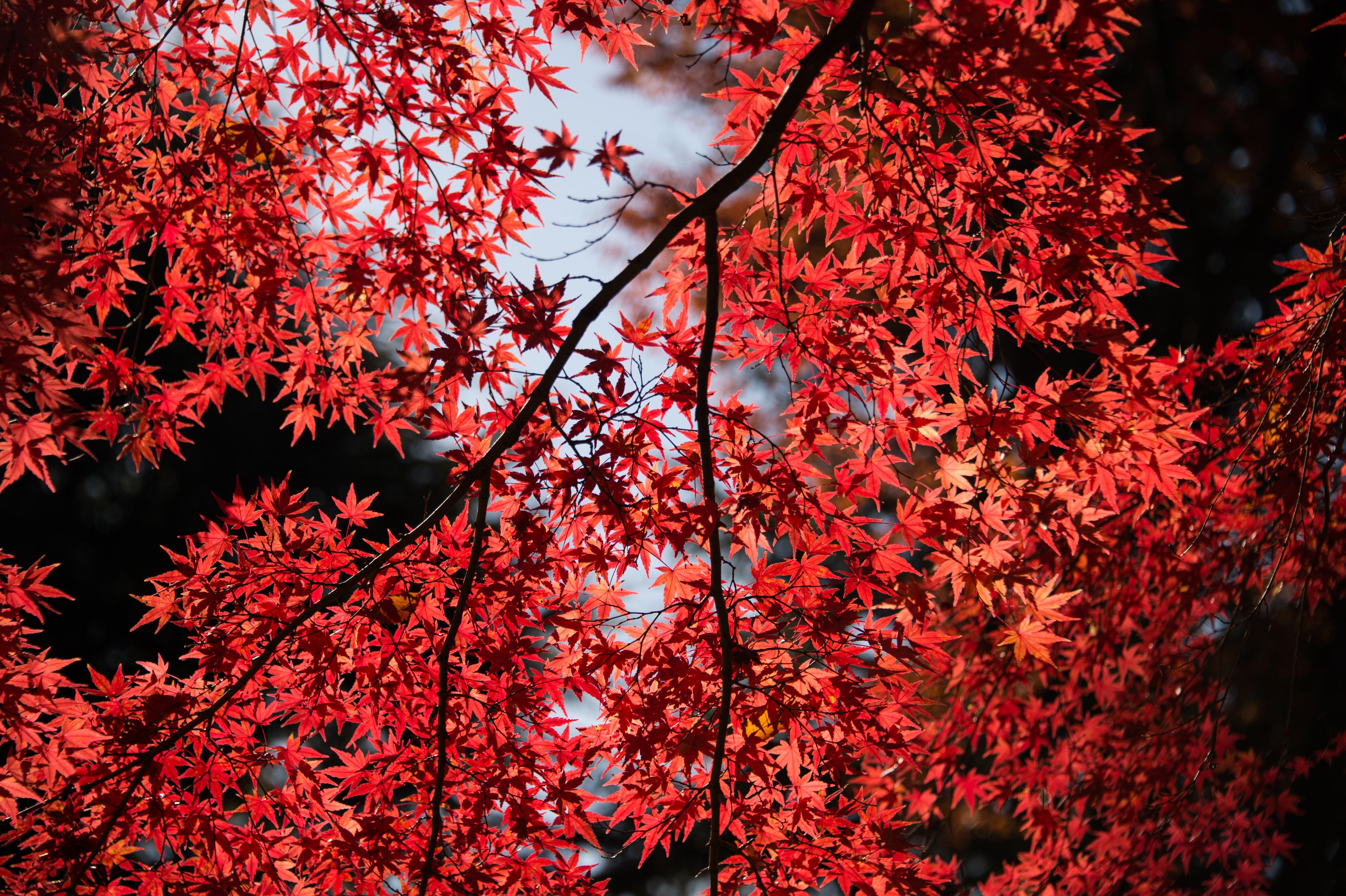 Hình ảnh lá phong Canada đẹp