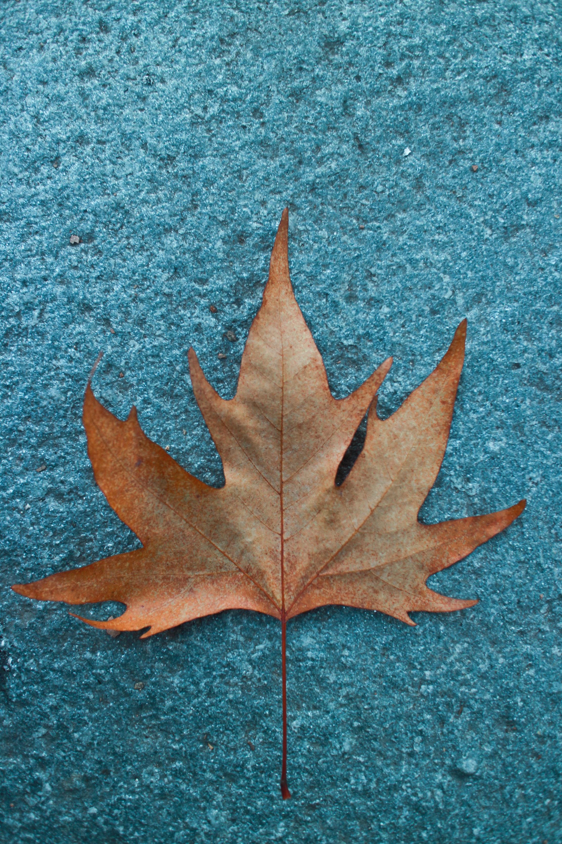 Hình ảnh lá phong vàng đẹp nhất