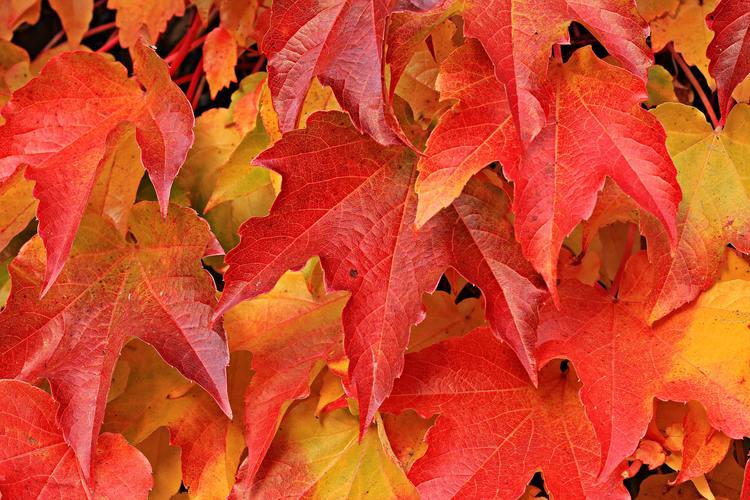 Hình ảnh rừng phong đỏ