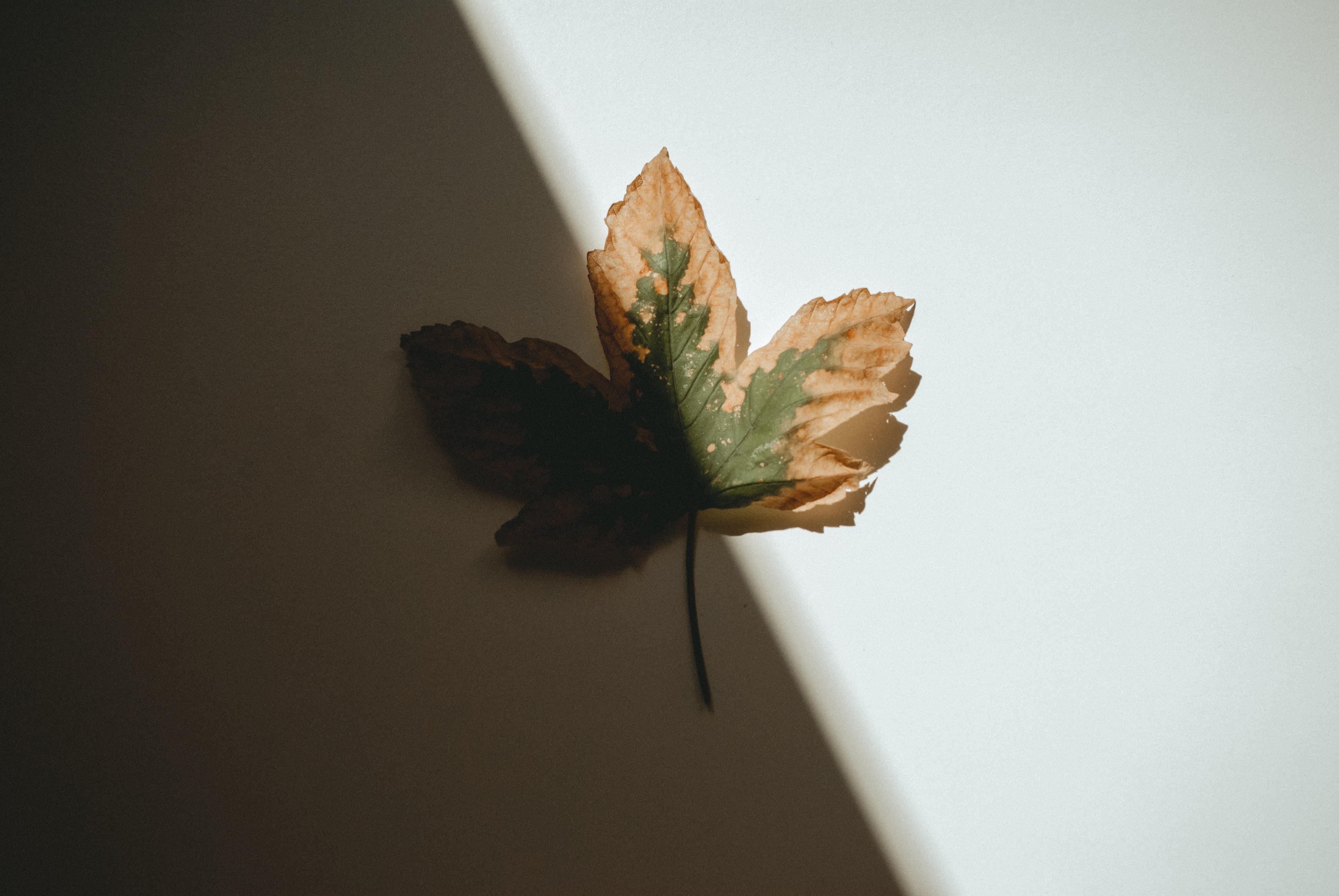 Hình ảnh lá phong đẹp