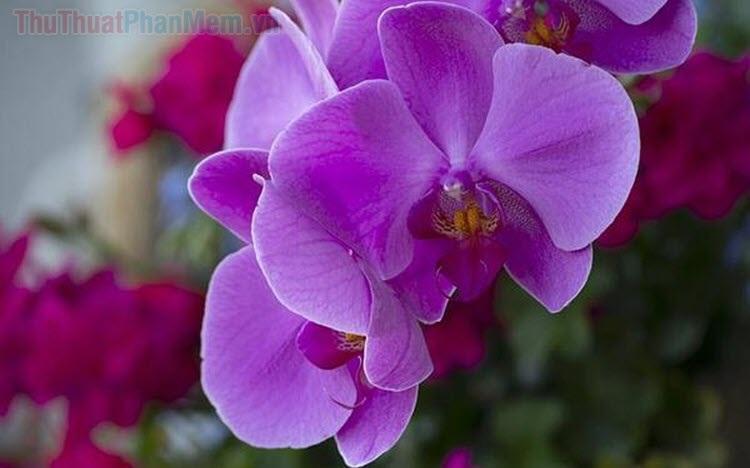 Hình nền hoa Lan