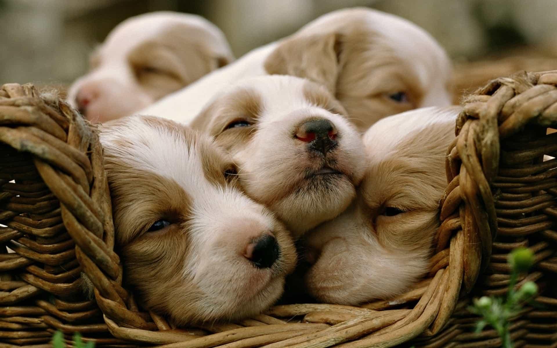 Ảnh nền các chú chó con đáng yêu
