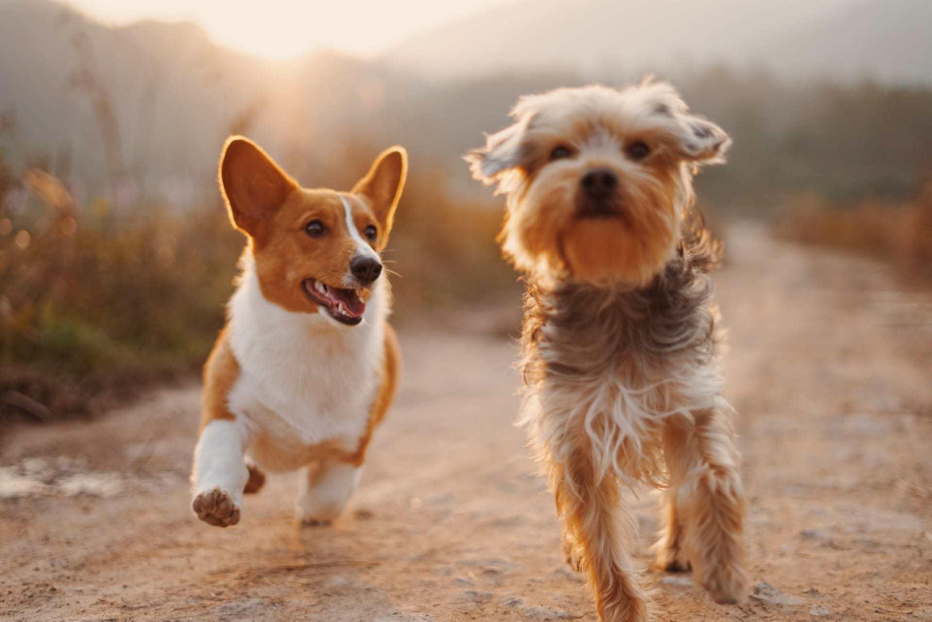 Ảnh nền cặp chó con đáng yêu