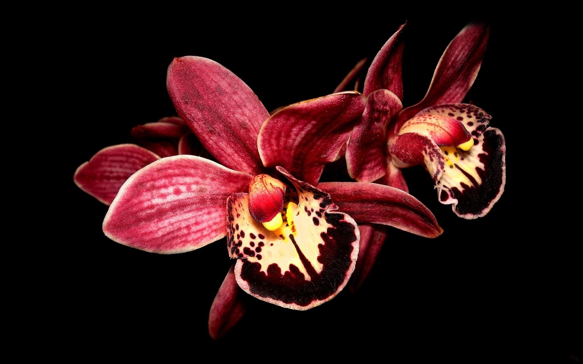 Ảnh nền đen hình hoa lan đẹp