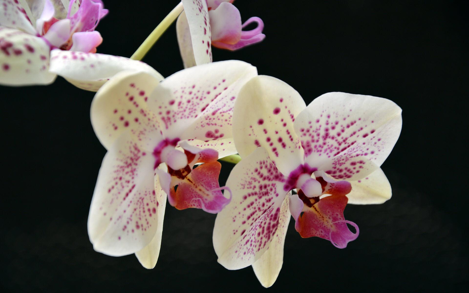 Ảnh nền đẹp bông hoa lan