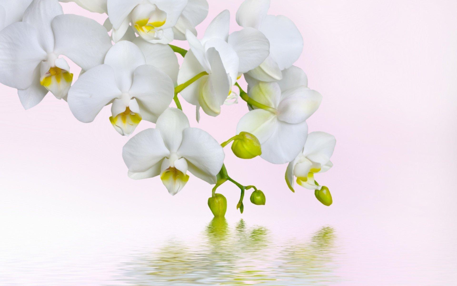 Ảnh nền hoa lan trắng đẹp