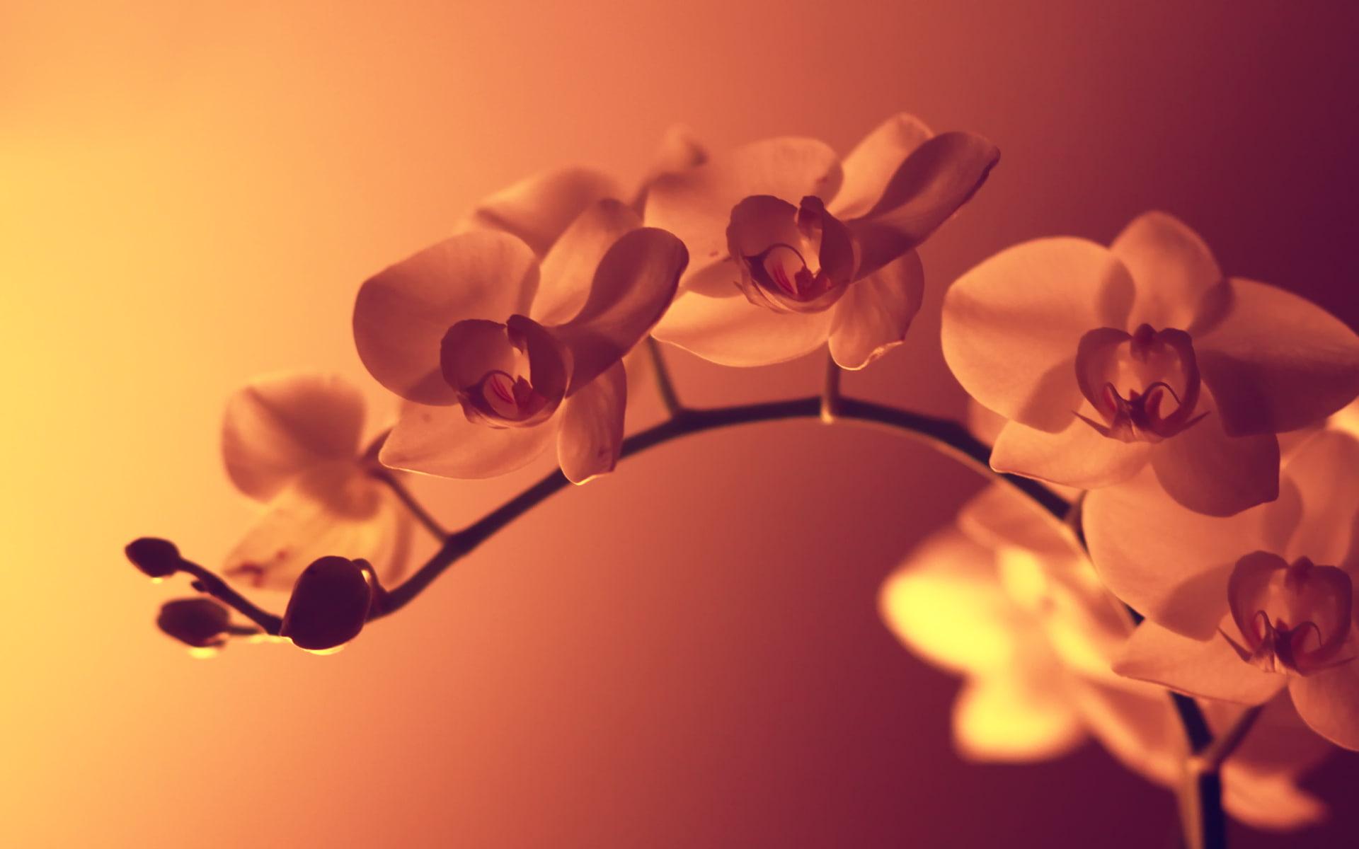 Ảnh nền hoa lan ý nghĩa, đẹp nhất