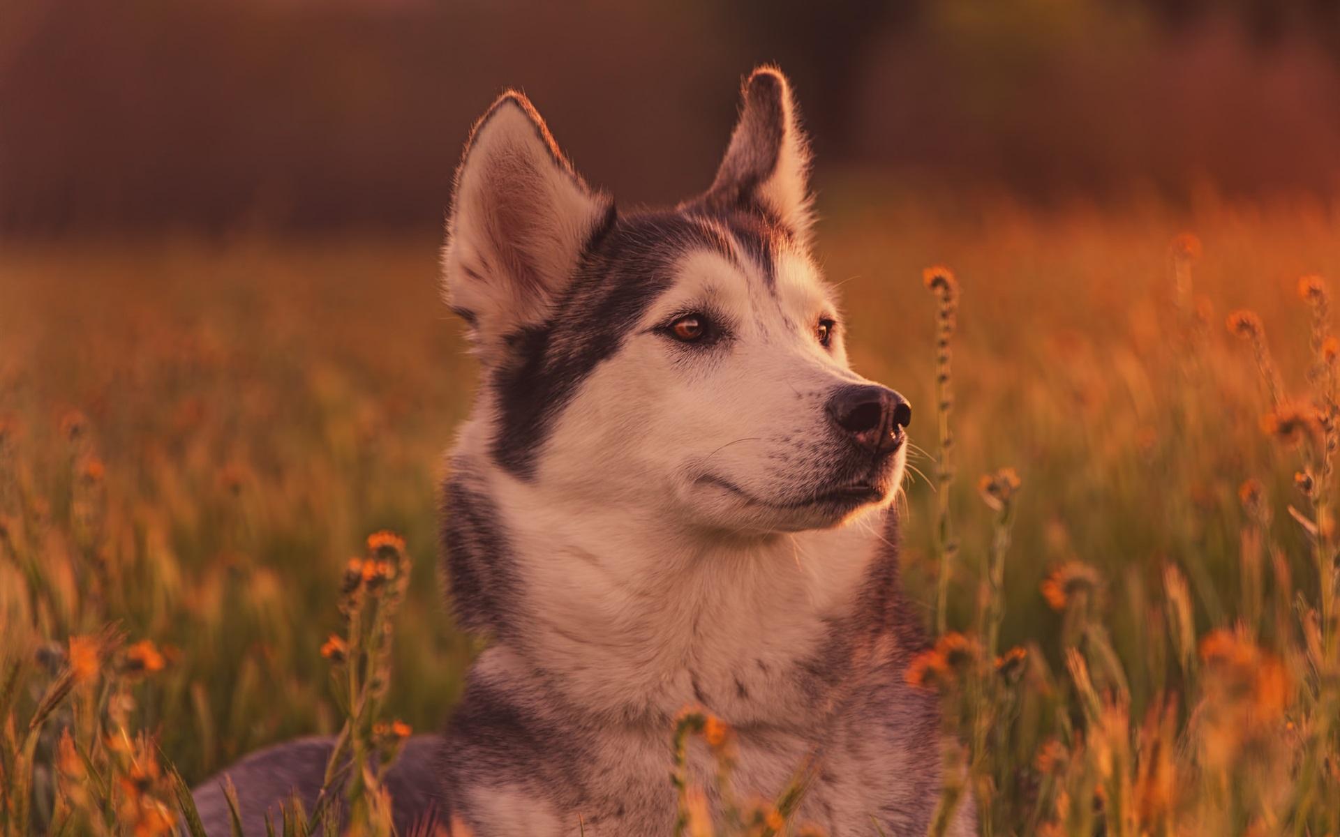 Hình nền chó Husky đội mũ