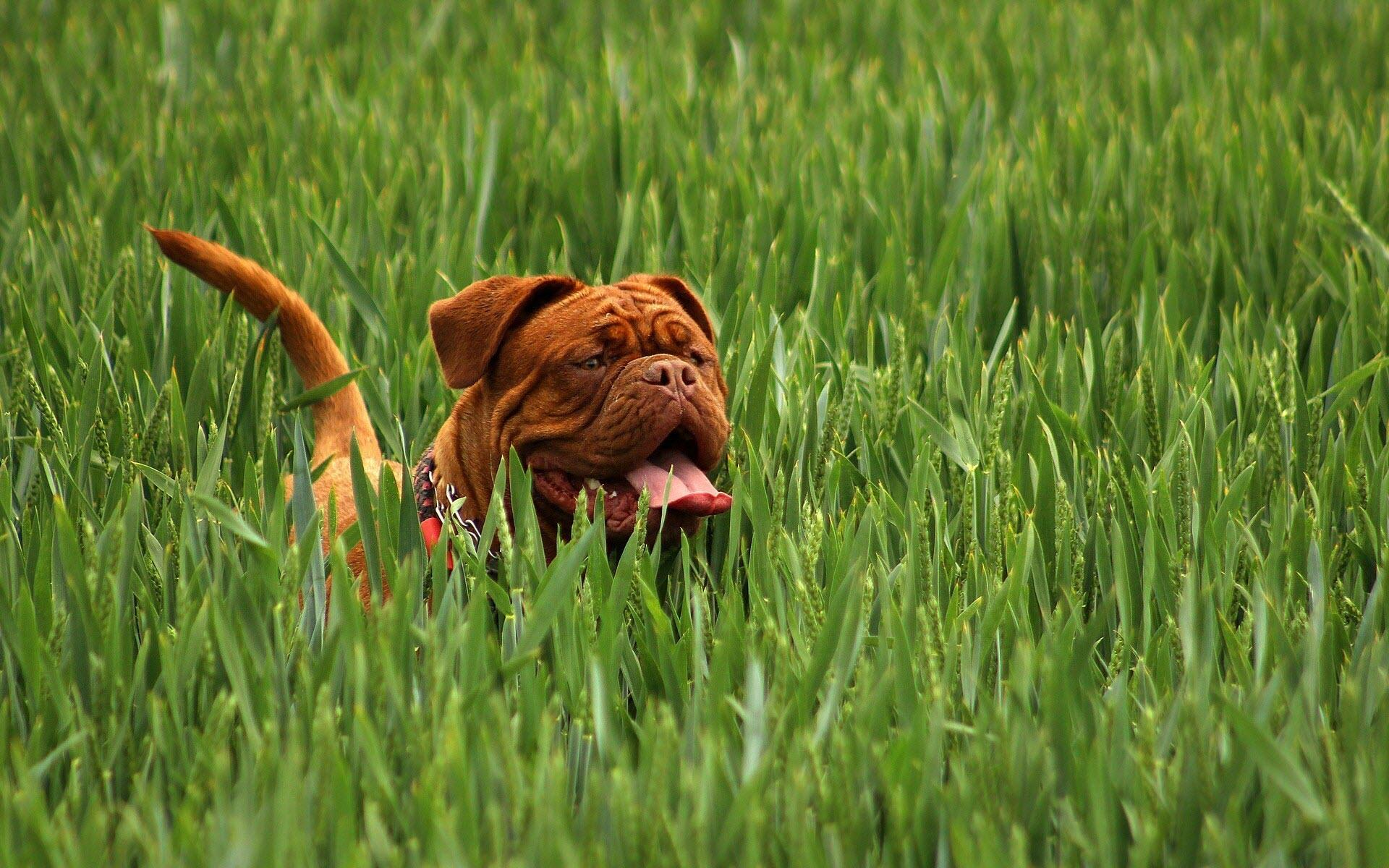 Hình nền chú chó corgi dễ thương