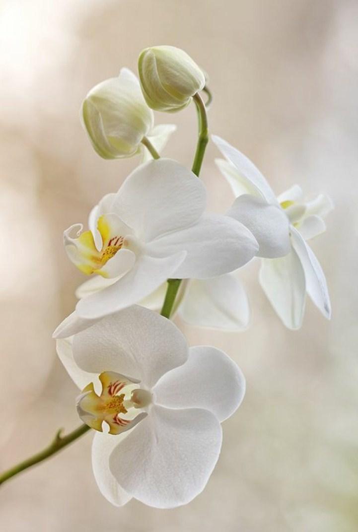 Hình nền hoa lan cho điện thoại