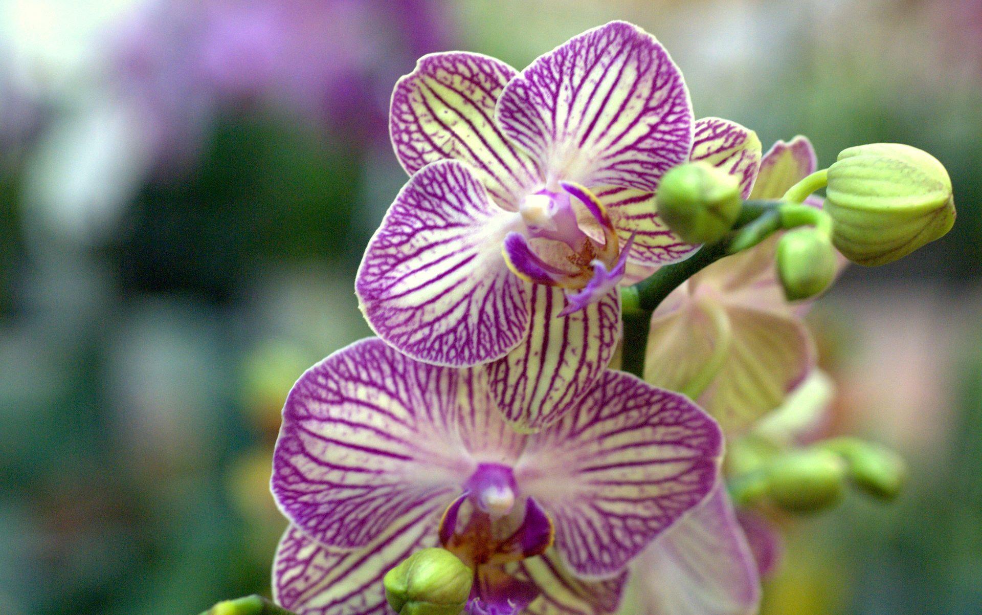 Hình nền hoa lan đẹp và độc đáo
