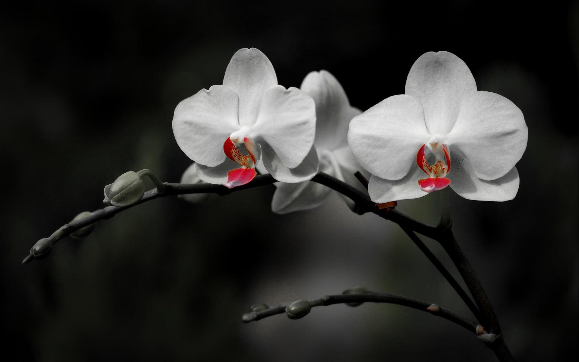 Hình nền hoa lan đơn sắc đẹp nhất
