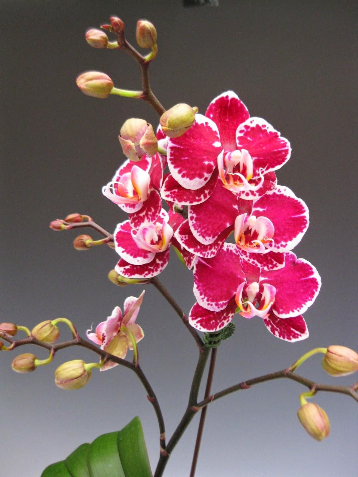Hình nền hoa lan hồ điệp cực đẹp