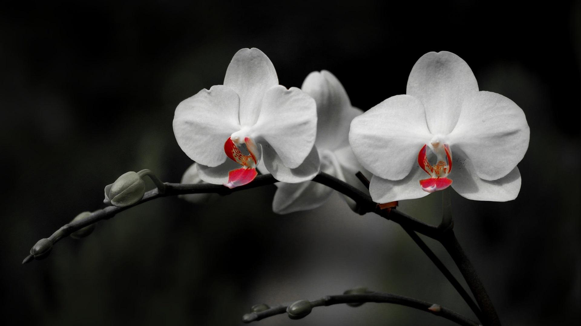 Hình nền hoa lan trắng đen đẹp