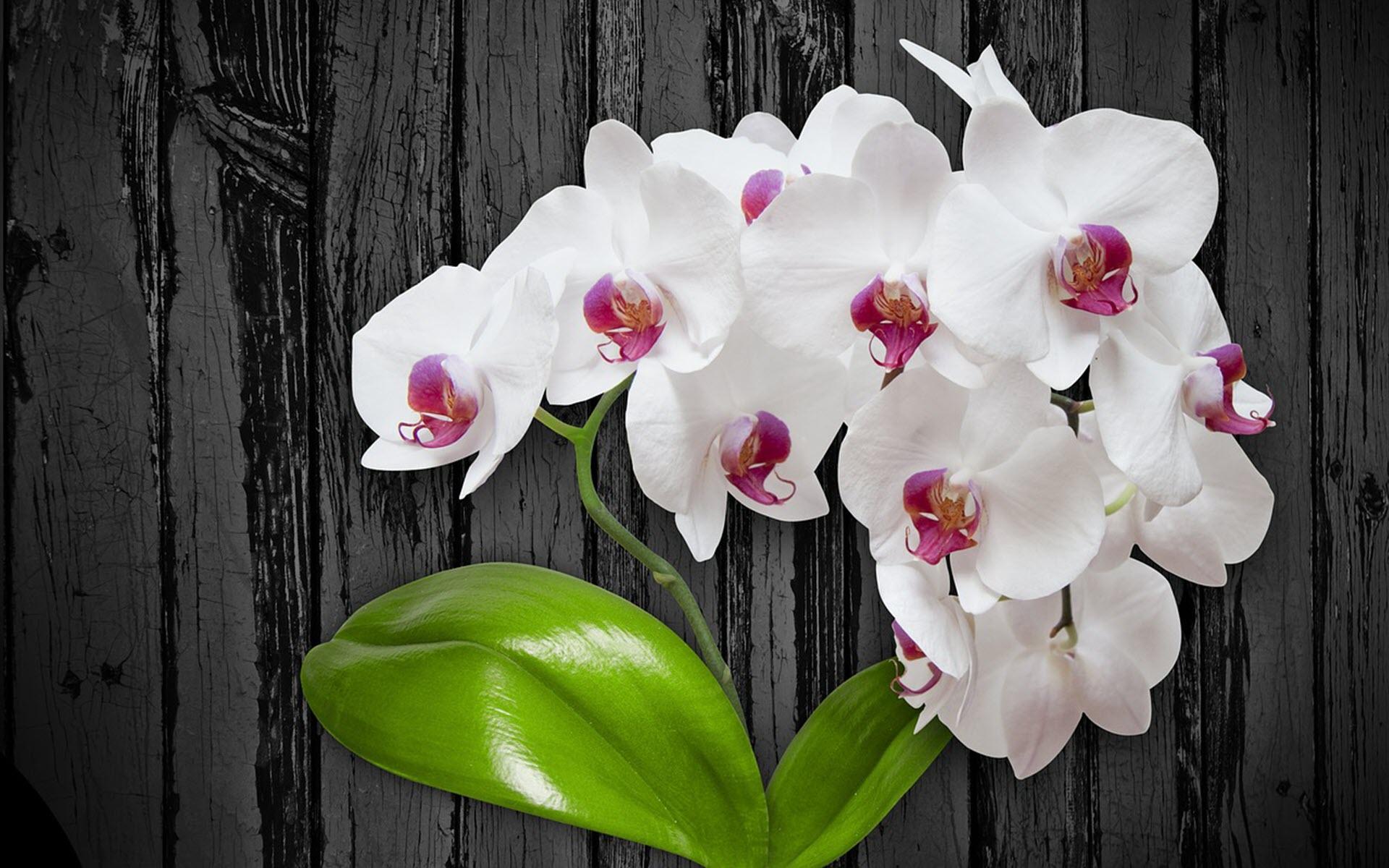 Hình nền hoa lan trắng đẹp