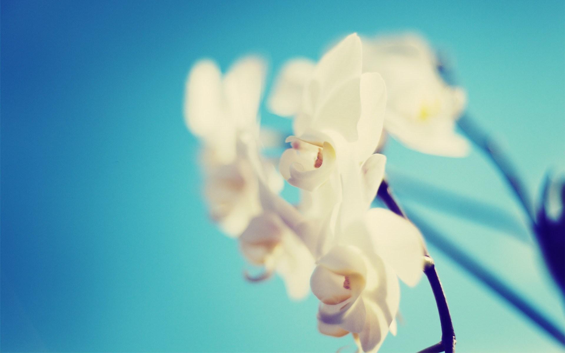 Hình nền hoa lan trắng nền xanh đẹp