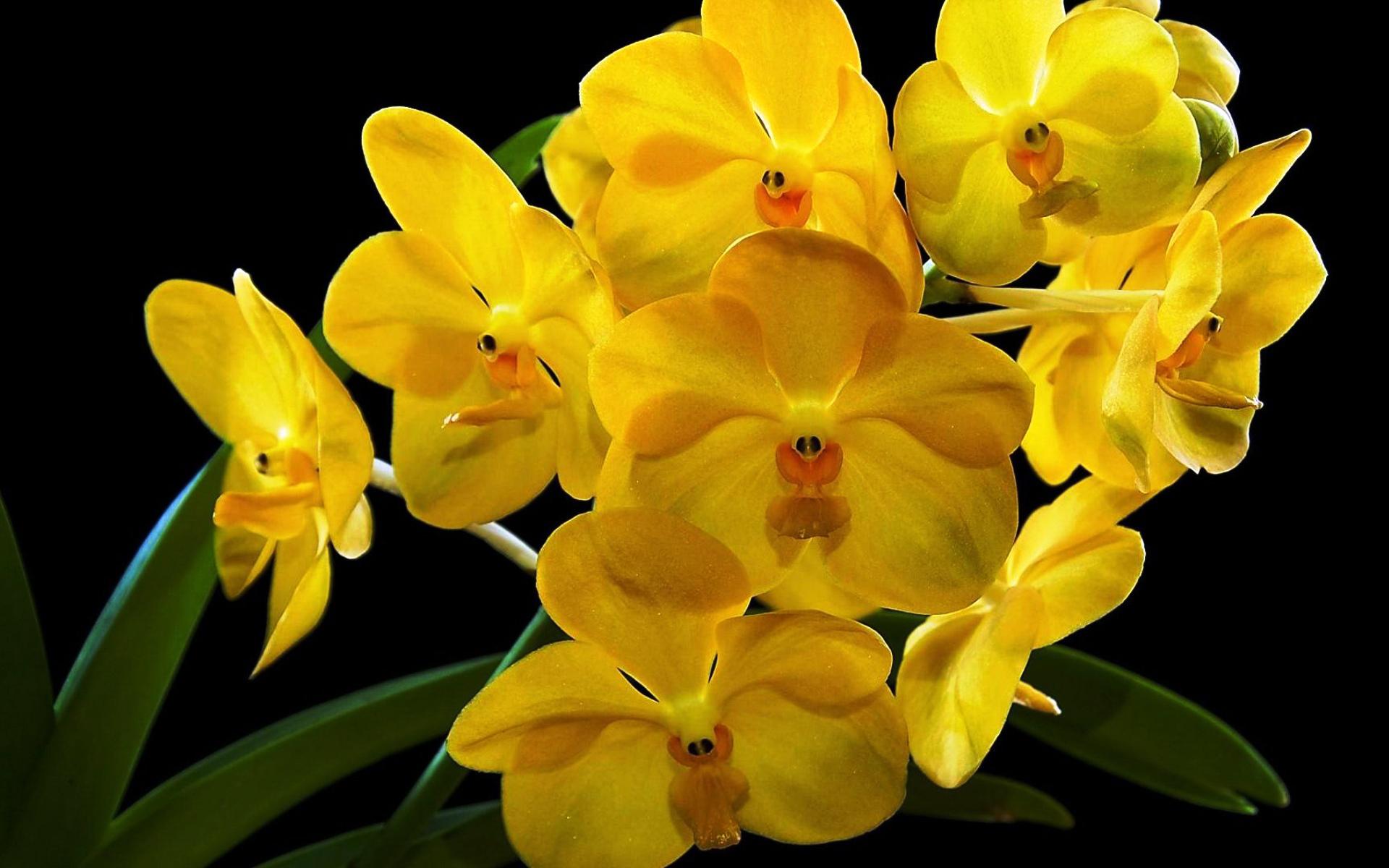 Hình nền hoa lan vàng đẹp, ý nghĩa