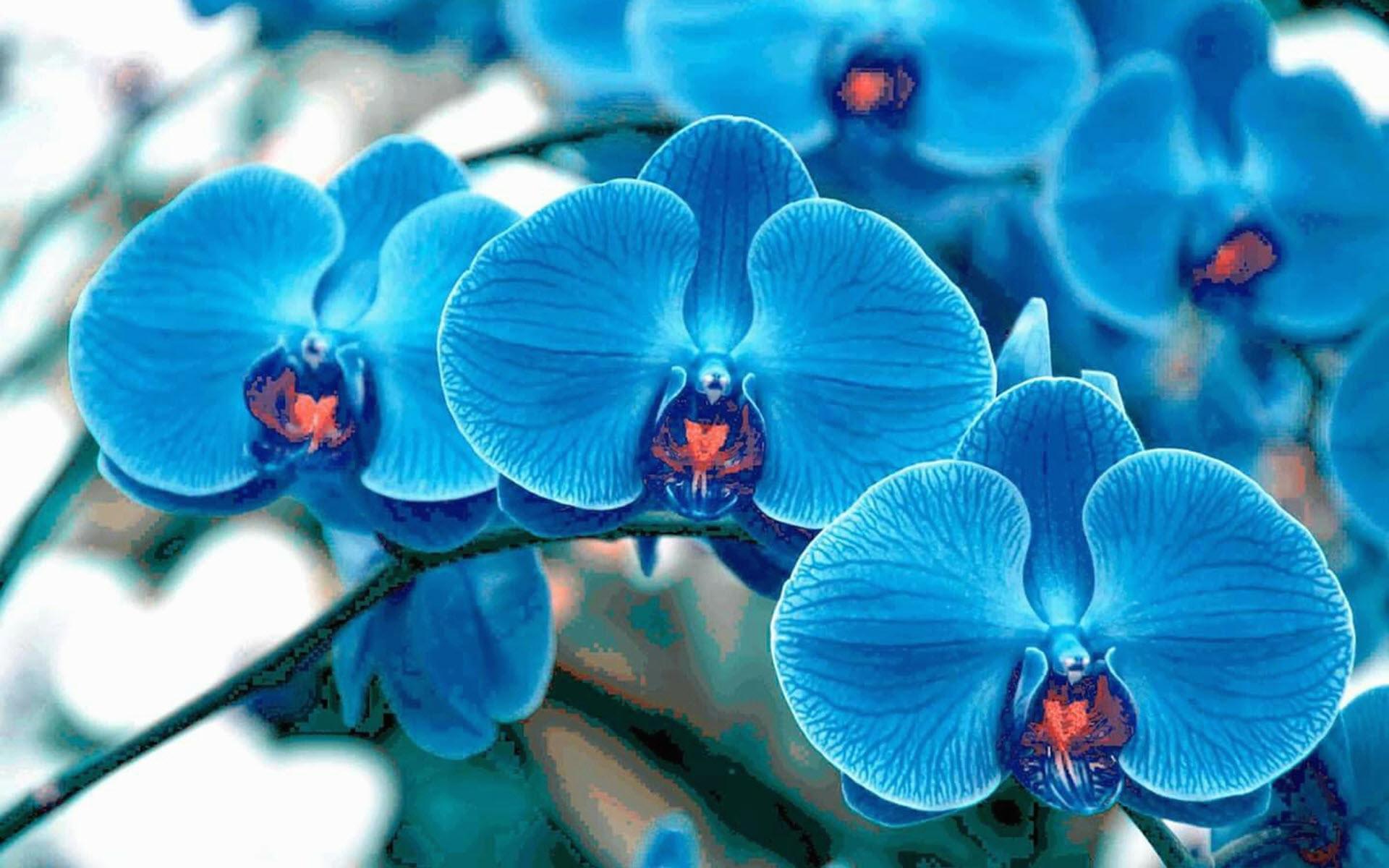 Hình nền hoa lan xanh đẹp nhất