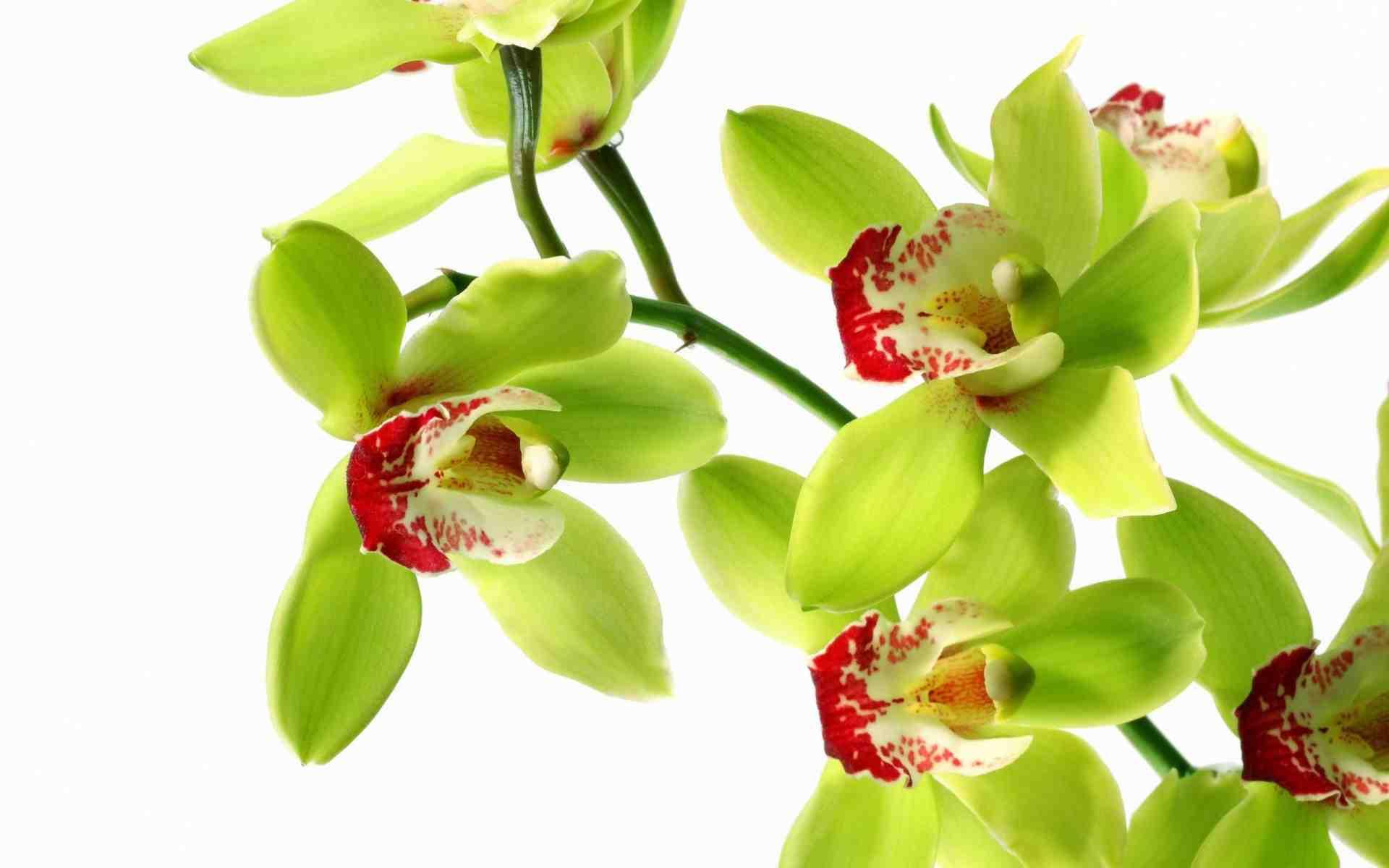 Hình nền hoa phong lan xanh