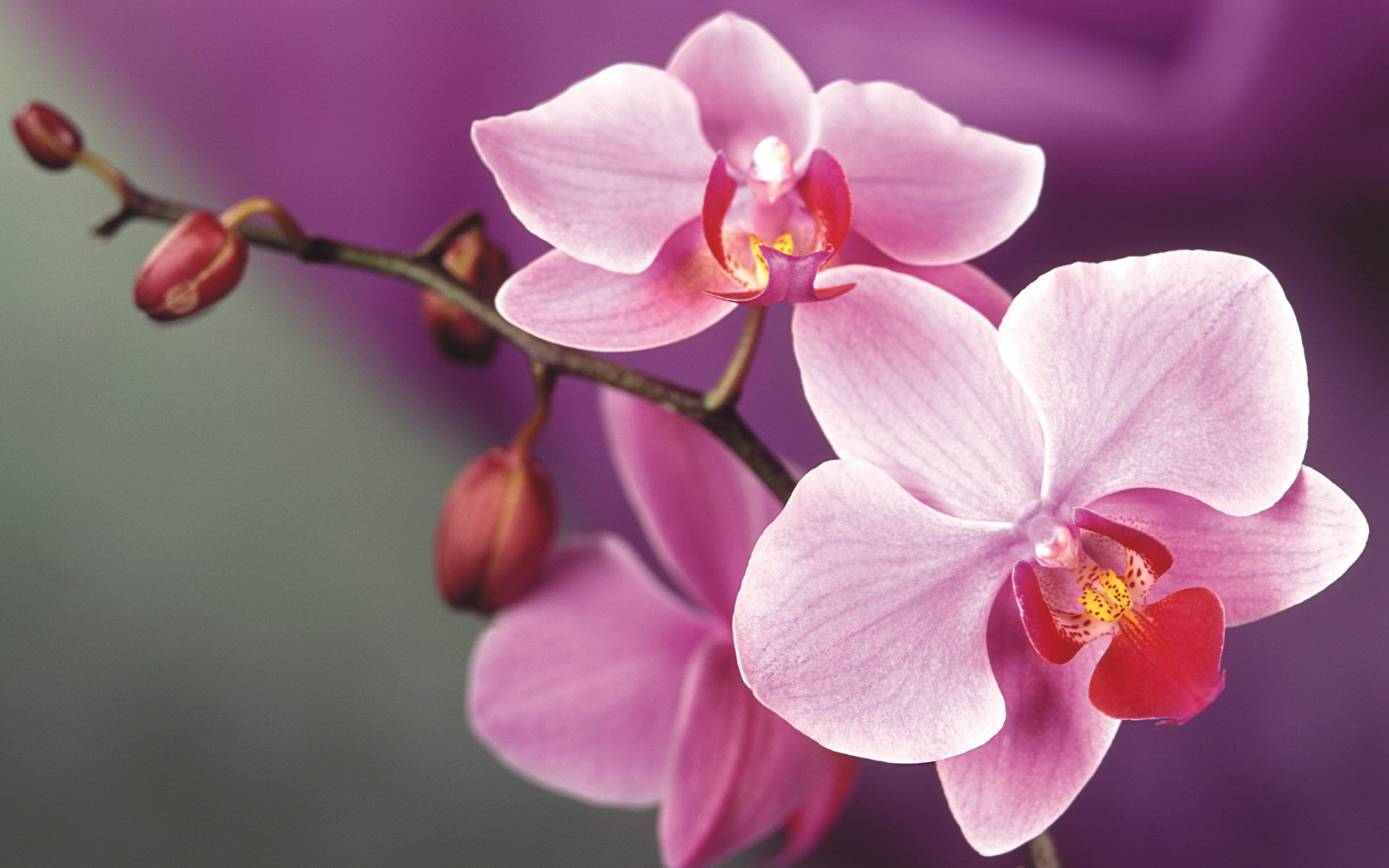 Hình nền hoa phong lan
