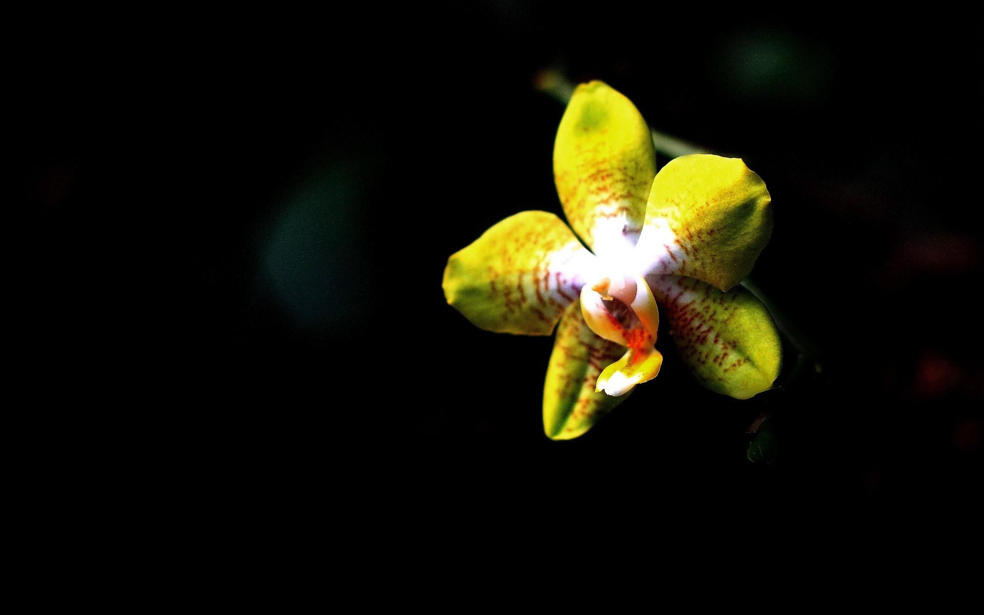 Hình nền máy tính hoa lan vàng